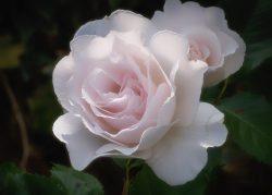 Summer Rose Summer Rose