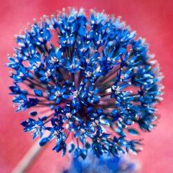 'Allium Aflatunense 1' by Deborah Longworth