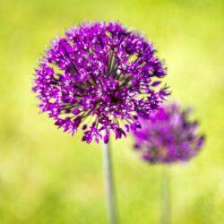 'Allium Aflatunense 2' by Deborah Longworth