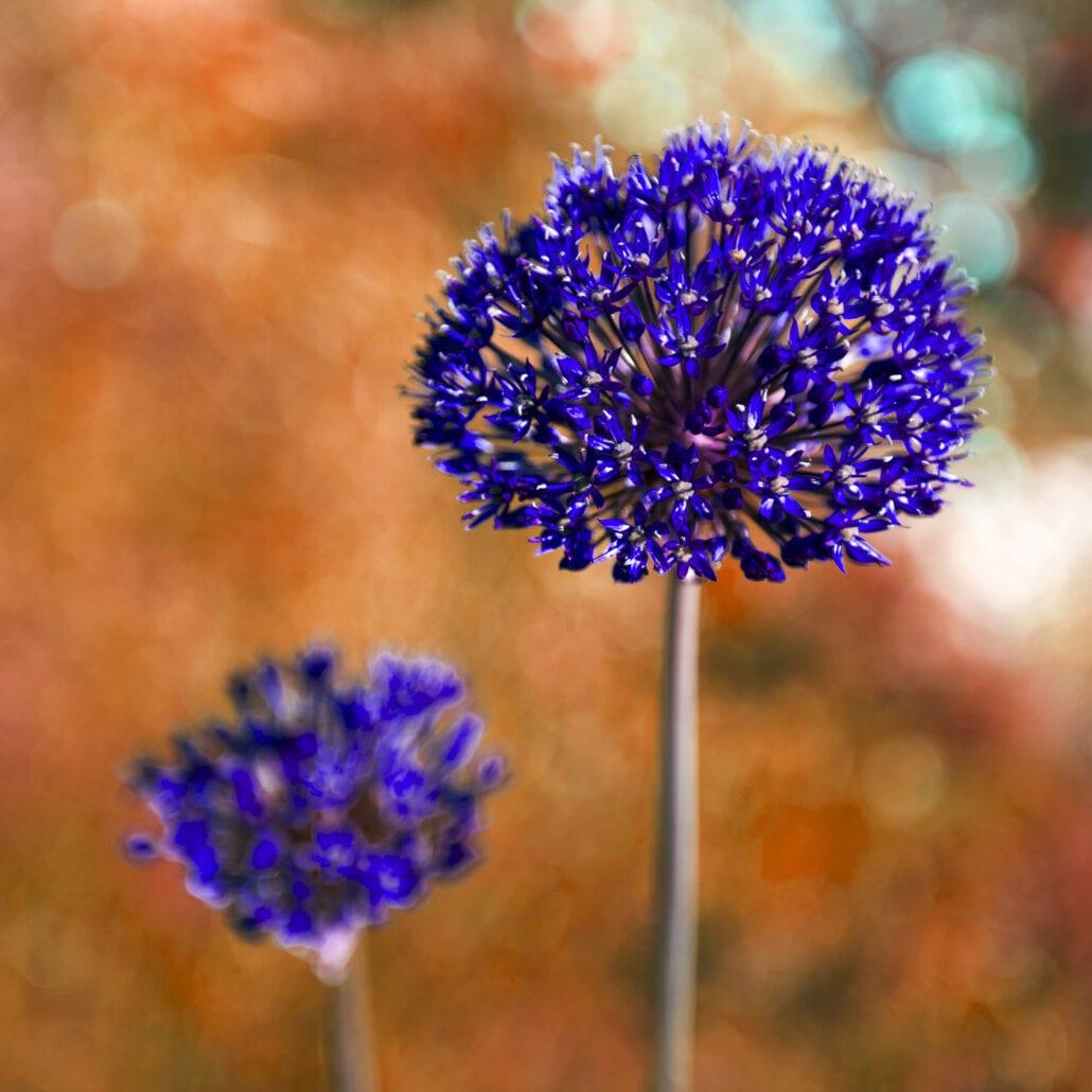 'Allium Aflatunense 3' by Deborah Longworth