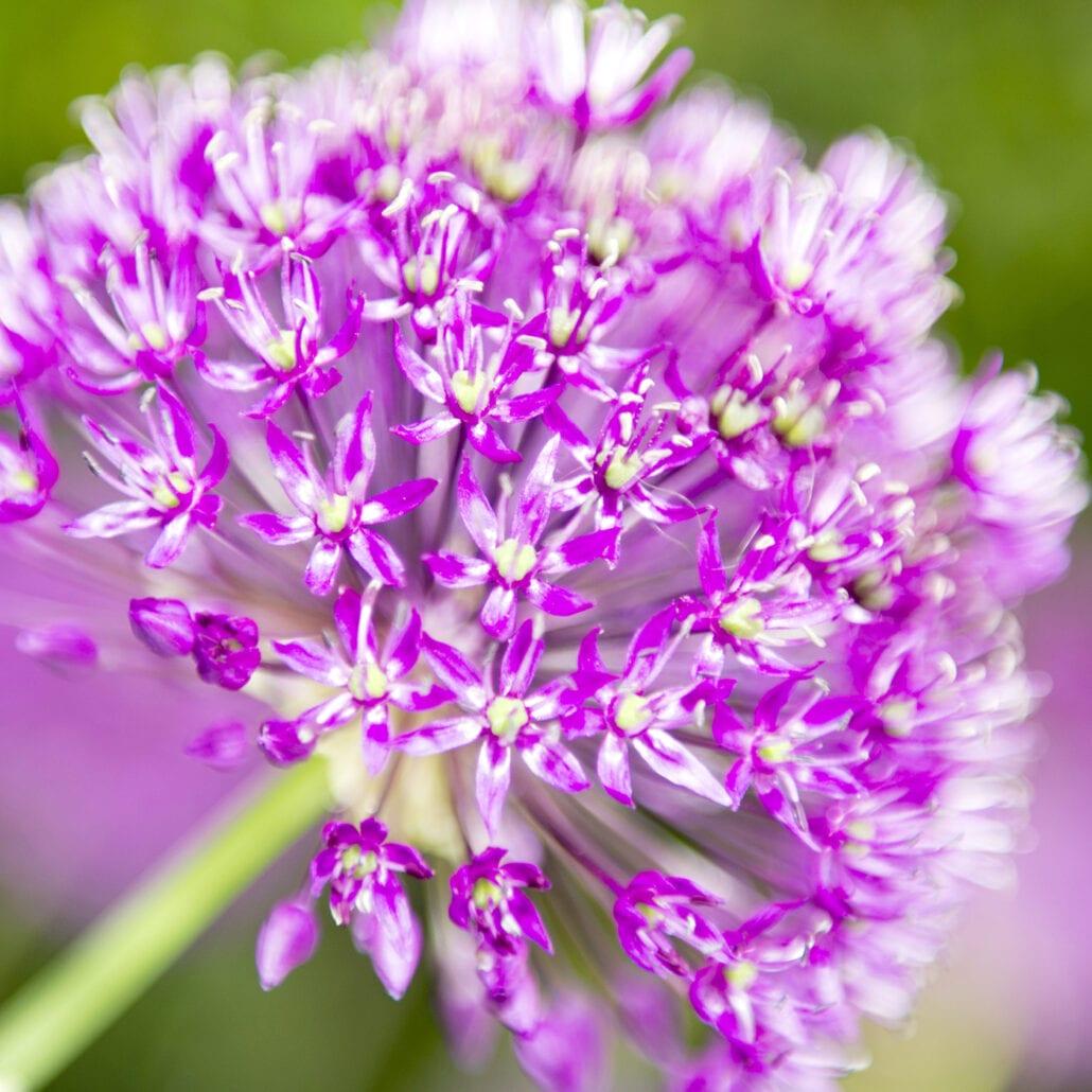 'Purple Sensation 3' by Deborah Longworth