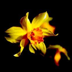 'Yellow Daffodil' by Deborah Longworth