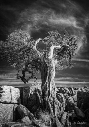 'Tree on Twistleton Scar' by Bouic